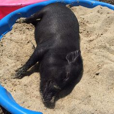 Sandbox or Sand pit: A sand box is a great enrichment activity for pigs. They enjoy rooting around in the soft sand. Be sure to supervise your pig to avoid eating the sand. You can hide treats like popcorn or cheerios in the sand and watch them Mini Porcs, Micro Mini Pig, This Little Piggy, Little Pigs, Zoo Animals, Cute Animals, Book Libros, Pot Belly Pigs, Pig Pen