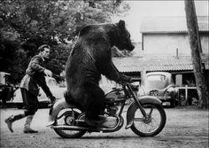 prepsterride:    A bear on a 125 Motobécane… normal activity…