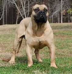 South African Boerboel (Mastiff)