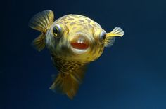 Close-Up Image of Puffer Fish -  pixoto.com images-photography animals fish smile-for-the-camera