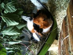 Guinea pig in a hammock. I would like a calico Guinea pig like this 1 day.
