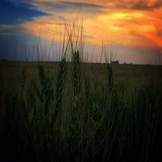 Just a few more weeks til' this wheat is harvested and brought in to our elevator! Elevator, Harvest, Colorado, Celestial, Sunset, Places, Outdoor, Outdoors, Aspen Colorado