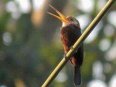 Foto agulha-de-garganta-branca (Brachygalba albogularis) por Henrique Moreira | Wiki Aves - A Enciclopédia das Aves do Brasil