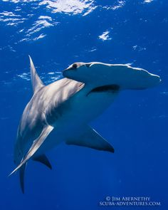 Bahamas Shark Expeditions | Jim Abernethy's Scuba Adventures