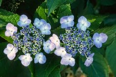 ~Hydrangea aspera 'Macrophylla'