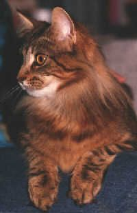 Maine Coon Cat - America's Native Long-Hair