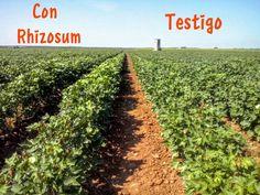 Ensayo de #biofertilización en algodón en la provincia de Sevilla. 50% de recorte e abono mineral.