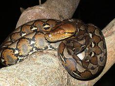 pitone reticolato(python reticulatus)- Asia sud orientale. 6/10metri