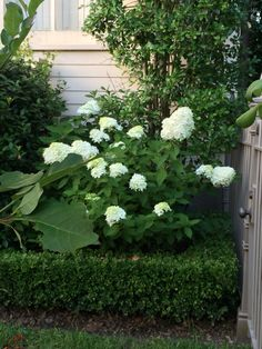 Puffy white hydrangeas.