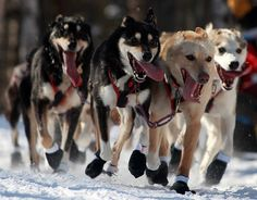 Dogs who were specifically breaded for pulling a dog sled. These sleds are important for transportation around the arctic areas