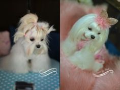 Pinky is a Korean Princess - Korean cut Face on a Pretty Maltese