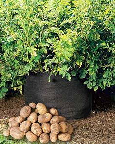 A fabric nursery pot designed to provide the best conditions for growing potatoes right on your patio - no garden required!