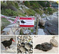 Black Oystercatcher Breeding Site in Hermanus