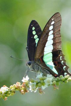 Common Bluebottle Butterfly, terence kok*