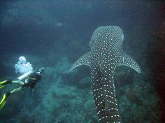 CSI: SAMUI Dive School - Bophut Surat Thani, Diving, Trip Advisor, Whale, School, Photos, Animals, Pictures, Animales