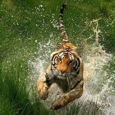 Tiger + Water