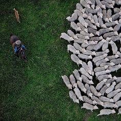 """Photo by @mattiasklumofficial Man and dog in close partnership herding Merino sheep outside of Sydney, Australia.  Go to @mattiasklumofficial to get…"""