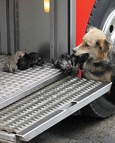 Puppies Articles - PawNation.   Mother Dog Rescues Pups From Blaze and Places Them on Firetruck  Kelli Bender Aug 10th 2012 2:43PM  Moms have a special kind of power that allows them to do the seemingly impossible to save their babies. This is a phenomenon that's also displayed by animals, this time by a canine from Temuco, Chile.