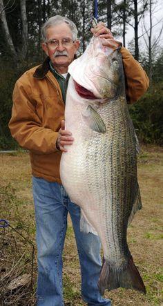 Dora, Alabama - James R. Bramlett, 65, landed a 70 lb striped bass from the Black Warrior River