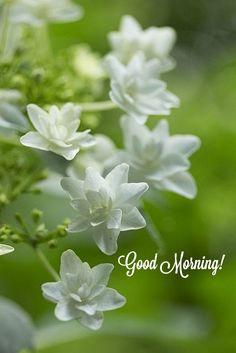 Amazing Flowers, White Flowers, Beautiful Flowers, White Hydrangeas, Moon Garden, Dream Garden, Garden News, White Gardens, My Secret Garden