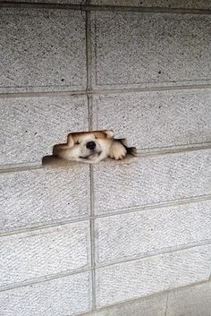 And this lady who's not quite sure how she ended up here.   11 Shibas Who Keep Getting Stuck In Things