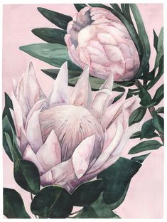 King Proteas on Pink Background Botanical Drawings, Botanical Illustration, Botanical Art, Protea Art, Protea Flower, Abstract Watercolor, Watercolor Flowers, Watercolor Paintings, Blue Flower Wallpaper