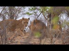 Female Lioness Teasing Male Lion