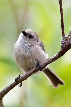 One of the smallest birds around not counting hummingbirds.  This is a male Bushtit.  The female of the species has a yellow eye and is even more striking.  These birds rarely stand still.  This was taken at Salish Ponds in Fairview, July 2010.