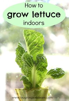 How to grow lettuce indoors with kids