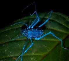Um espécime da ordem Opiliones (conhecidos vulgarmente como opiliões) sob uma luz UV. Classe Arachnida.