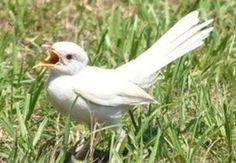 Albino Mockingbird
