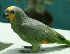 The fact sheet on Orange Winged Amazon Parrots is perfect for you to read on #AmazonParrotDay