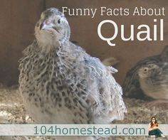 Many things the quail do will scare the bejeezus out of you when they first do it. That's why I felt it was my duty to give you a heads up with these funny facts about quail.: