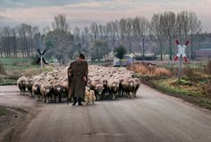 Steve McCurry - Germany. 1990. A man walks with a herd of sheep.