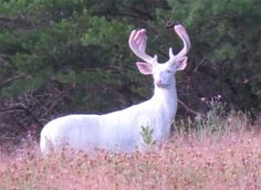 An Albino Deer I Spotted In Northwestern Wisconsin Yesterday