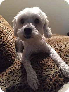 Rancho Santa Margarita, CA - Maltese Mix. Meet Stefano, a dog for adoption. http://www.adoptapet.com/pet/17311190-rancho-santa-margarita-california-maltese-mix