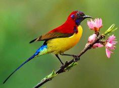 Mrs Gould's Sunbird via Bird's Eye View at www.Facebook.com/aBirdsEyeViewForYou