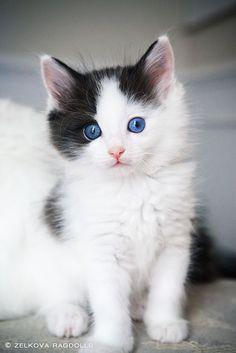 Beautiful and fluffy Ragdoll kitty |cats| |kittens| #cats #cutecats   https://biopop.com/