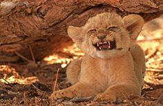 With growls and snarls - With growls and snarls this little lion cub sends out a warning signal to an older cub of the pride to stay away.  With growls and snarls - Kgalagadi Transfrontier Park - Northern Cape - South Africa