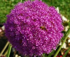 Allium Lucy Ball Thank You Again For The Information Sally My Flower Is Clearly Broadening Horticultural