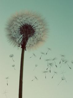 Dandelion Wishes in Mint Green and Brown Image Deco, Dandelion Wish, Dandelion Seeds, Dandelion Flower, Dandelion Tattoos, Make A Wish, How To Make, Photo D Art, Wabi Sabi