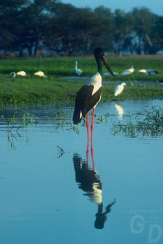 Jabiru in Kakadu National Park, Northern Territory, Australia Australian Continent, Australian Animals, Kakadu National Park, National Parks, Cool Countries, Countries Of The World, Australia Travel, Beautiful Birds, Pet Birds