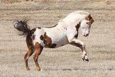 Black Hills Wild Horse Sanctuary, Saving wild mustangs, wild horses, American mustangs