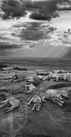 """Mit diesem Foto wurde der amerikanische Fotograf Michael Nichols """"Wildlife Photographer of the Year 2014"""". Die besten Bilder aus dem Wettbewerb: http://www.travelbook.de/welt/Kolibris-Loewen-Kroeten-Die-spektakulaersten-Fotos-aus-der-Wildnis-554715.html"""