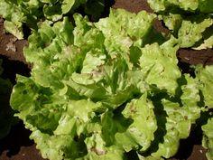 Lettuce, Unicum (Organic)