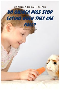 Do Guinea Pigs Stop Eating When They Are Full? As guinea pigs are grazing animals, they keep eating all day. Guinea pigs prefer tastier, high-calorie food if given a choice. That will make you wonder if guinea pigs can feel when they are full and will your guinea pig stop eating when they are full? #guineapig #smallpets #pets