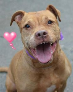 TO BE DESTROYED 12/15/15 SUPER URGENT Brooklyn Center QUEENIE – A1059669 ***SAFER : AVERAGE HOME*** FEMALE, RED / WHITE, PIT BULL MIX, 10 yrs OWNER SUR – EVALUATE, NO HOLD Reason PERS PROB Intake condition EXAM REQ Intake Date 12/05/2015 http://nycdogs.urgentpodr.org/queenie-a1059669/
