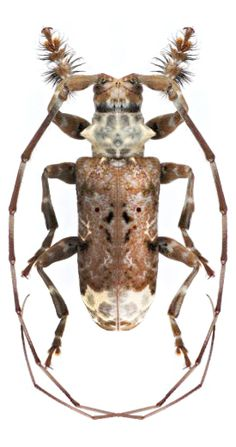 Asiopezus longimanus ~ETS #beetle #entomology Cool Insects, Types Of Insects, Bugs And Insects, Beetle Insect, Beetle Bug, Longhorn Beetle, Le Zoo, Cool Bugs, Grasshoppers