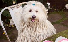 Mark Zuckerberg's Dog, A Mop Look-Alike Named Beast, Is A Stunning Beauty In His Own Right #ilovemydog #barkpost