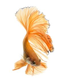 yellow ballet - Capture the moving moment of yellow siamese fighting fish isolated on black background. Betta fish